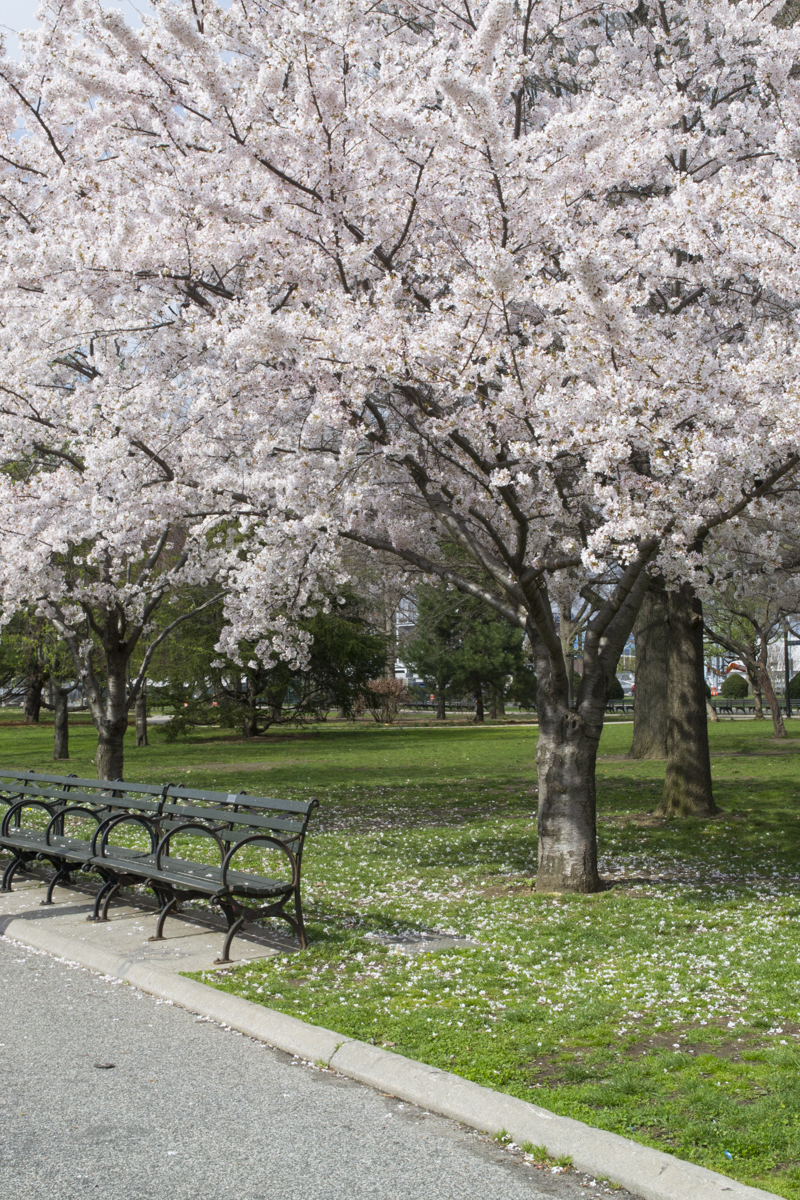 CherryBlossom2016-JCRomano-2