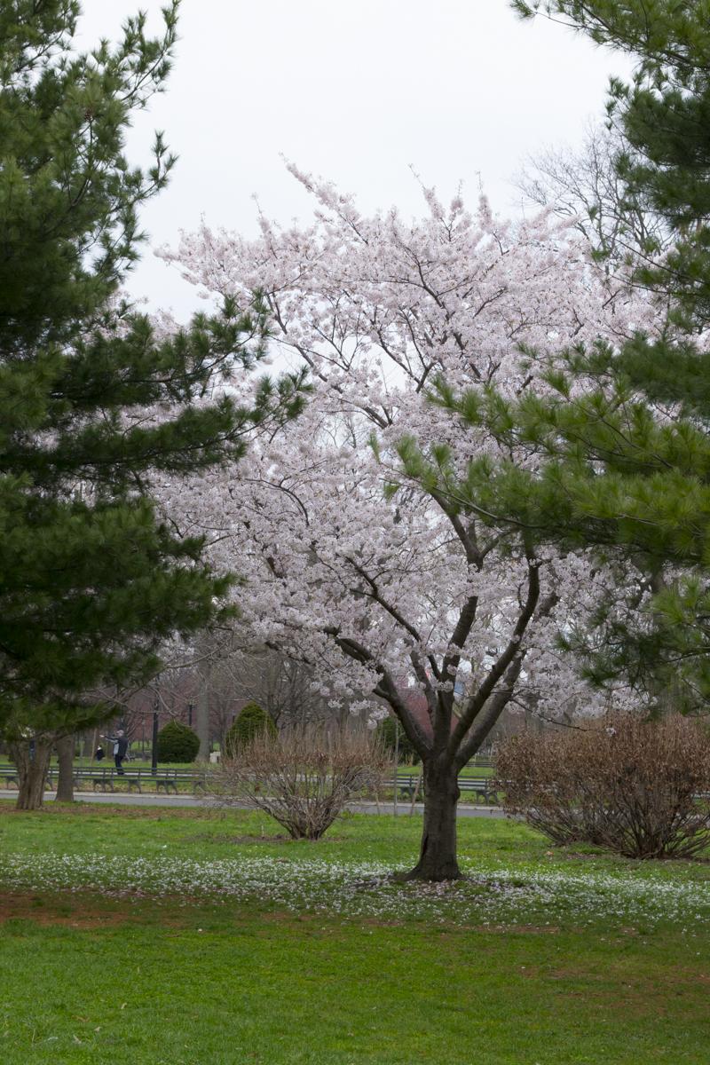 CherryBlossom2016-JCRomano-3
