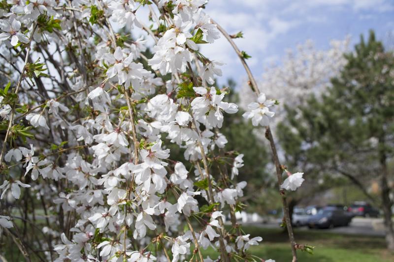 CherryBlossom2016-JCRomano-4