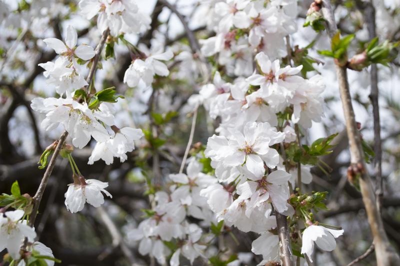 CherryBlossom2016-JCRomano-5