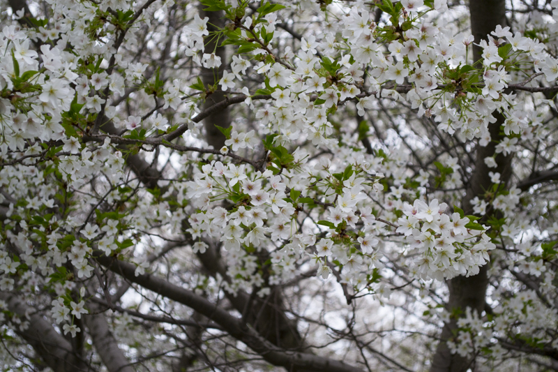 CherryBlossom2016-JCRomano-7