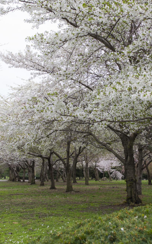 CherryBlossom2016-JCRomano-9